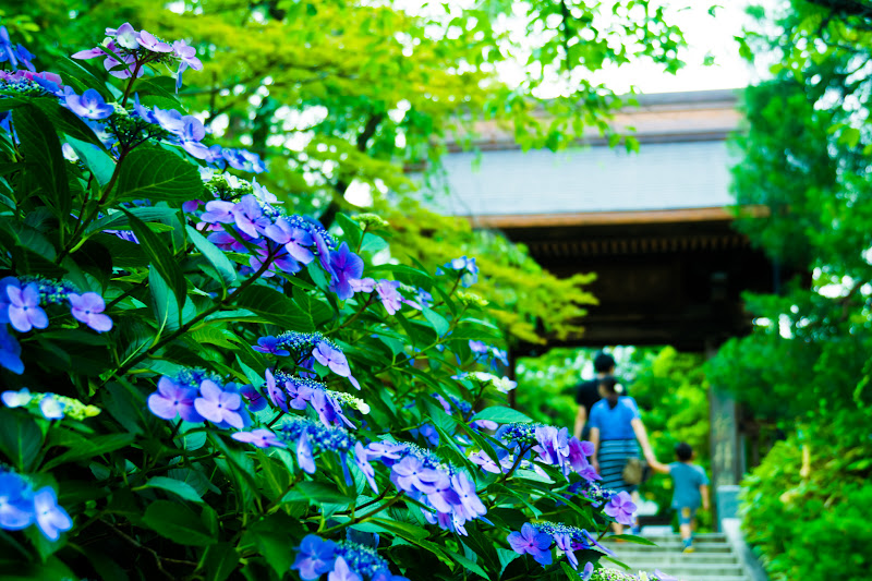 Hydrangea flowers at Takahatafudoson Kongoji Temple29