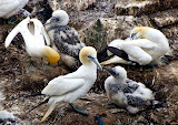 """Gannet Babies and Moms"" by Liz Bumgarner - 3d place General A"