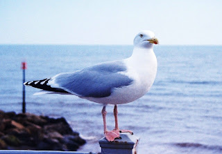 Seagull with his eyes on some Sidmouth chips...