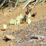 Papilio thoas cinyras MÉNÉTRIÉS, 1857 et Pieridae dont Anteos menippe HÜBNER, 1816 et Phoebis sennae marcellina CRAMER, 1779.Rio Zongo (alt. 600 m). Bolivie, 30 janvier 2008. Photo : J. F. Christensen