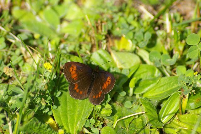 Erebia euryale ESPER, 1805, mâle (1700 m). La Blachière, 12 juillet 2010. Photo : J.-M. Gayman