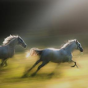 Golden way by Milan Malovrh - Animals Horses ( lipicanci,  )