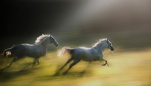 Golden way by Milan Malovrh - Animals Horses ( lipicanci,  )