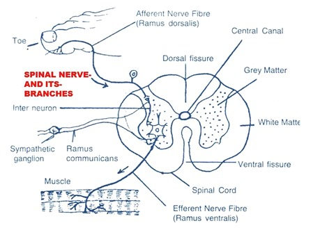spinal-nerve-rabbit