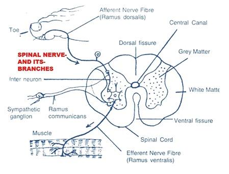 Spinal Nerves Rabbit Biozoom