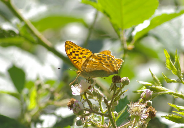 Argynnis paphia L., 1758, femelle. Les Hautes-Lisières (Rouvres, 28), 16 juin 2011. Photo : J.-M. Gayman