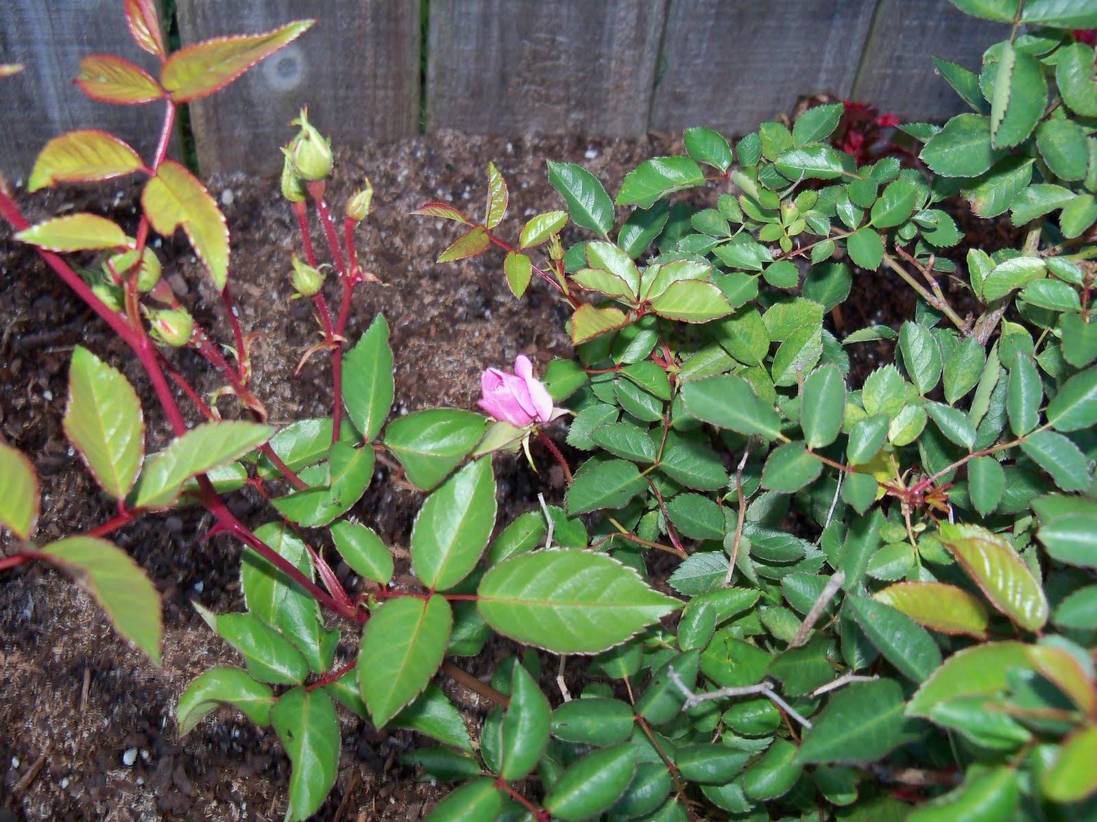 Gardening 2010 - 101_0345.JPG