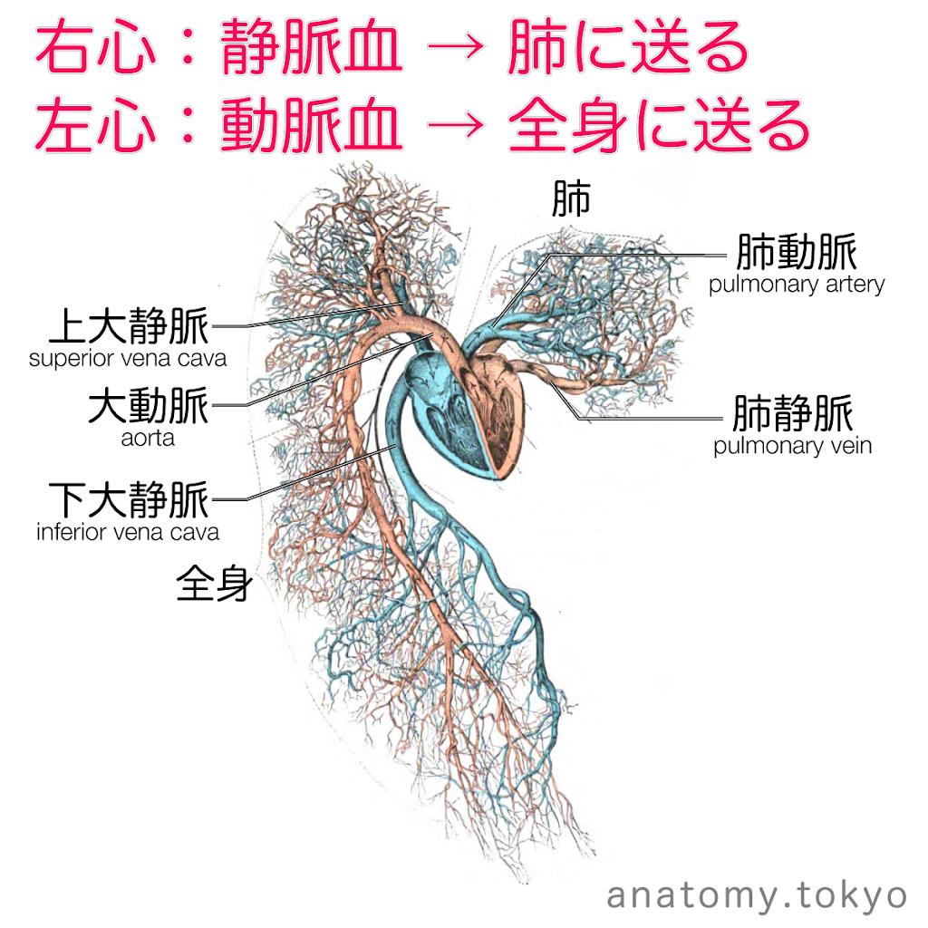 t222-03-右心は静脈血、左心は動脈血.png