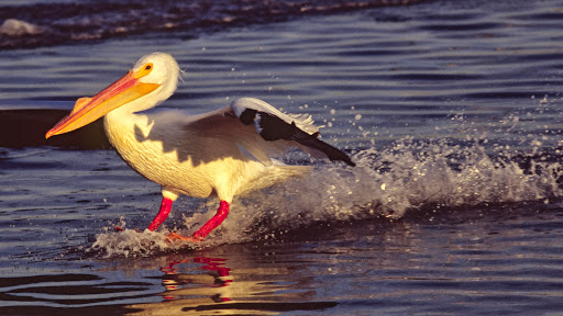 Skidding to a Stop, American White Pelican, California.jpg