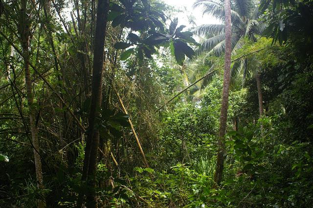 Dans la forêt à Pulau Mantanani, 28 juillet 2011. Photo : J.-M. Gayman
