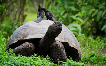 Εντοπίστηκε στα νησιά Γκαλαπάγκος γιγαντιαία χελώνα που θεωρείτο εξαφανισμένο είδος για πάνω από έναν αιώνα