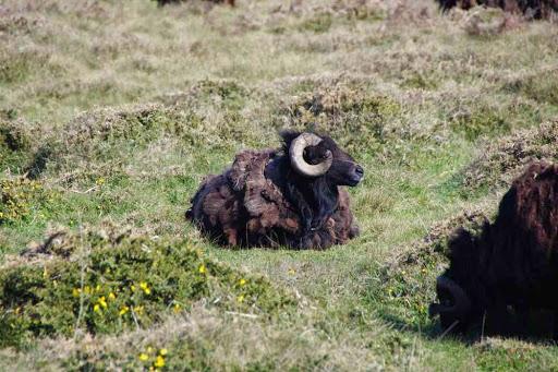 Le mouton noir de la Bretagne
