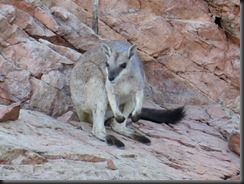 170601 026 Lake Argyle Cruise Short Eared Wallaby