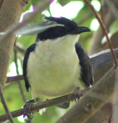 14-Jun-2015 Jacobin Cuckoo (Pic: Madhurima Das)