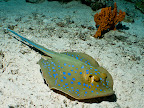 Bluespotted ribbontail ray (Taeniura lymma)