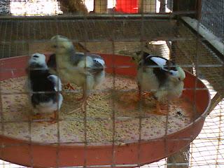 ayam bangkok impor   jual ayam bangkok   ayamburma   ayam