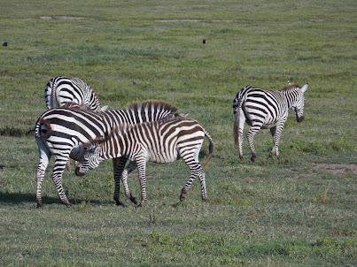 Национальный парк Нгоро-Нгоро. Февраль 2013