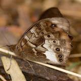Satyrini : Pronophilina : Pronophila cordillera WESTWOOD, 1851. Route de Satipo près d'Allapa (Junin, Pérou), 6 janvier 2011. Photo : Meena