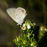 Eicochrysops messapus GODART, 1824. Afrique du sud. Photo : D. Edge, Natures Valley Trust