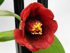 暗紅色 一重 筒咲き 筒しべ 花糸は赤 小〜中輪