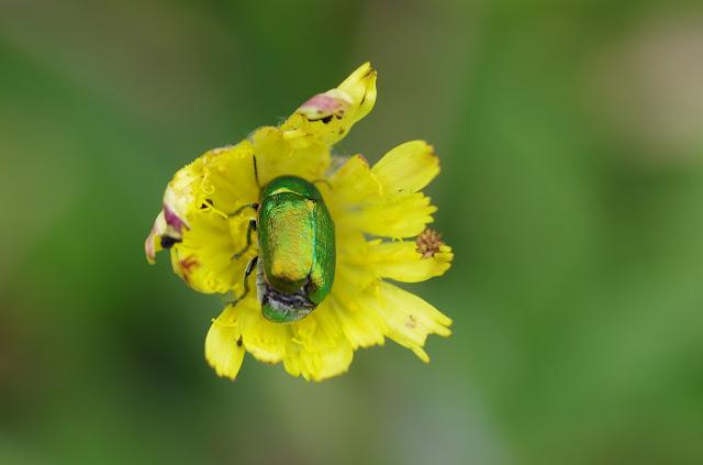 Chrysomelidae : Gastrophysa viridula DE GEER, 1775. Les Hautes-Lisières (Rouvres, 28), 14 juin 2012. Photo : J.-M. Gayman
