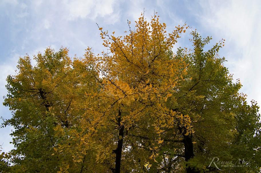 金黃的銀杏樹