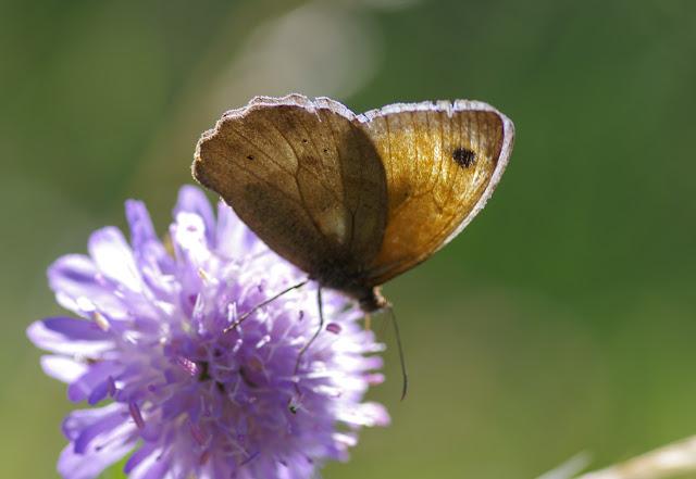 Maniola jurtina (L., 1758), mâle. Les Hautes-Lisières (Rouvres, 28), 6 juillet 2012. Photo : J.-M. Gayman