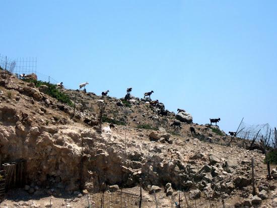 stado kóz na skale