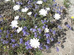 Desert Chicory (white)