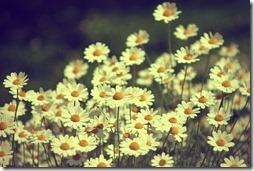 margaritas flores (7)