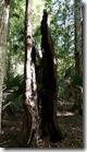 Big split stump