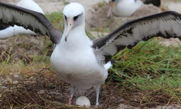World's Oldest-known Wild Bird Gives Birth To Another Chick At 70