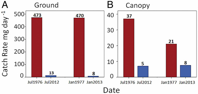 Comparison of the average dry-weight biomass of arthropods caught per 12-h day in 10 ground (A) and canopy (B) traps within the same sampling area in the Luquillo rainforest in Puerto Rico. Numbers above the bars give the mean daily catch rate in dry weight of arthropods per day for the respective dates. Data for 1976 and 1977 are from Lister, 1981 / Ecology. Graphic: Lister and Garcia, 2018 / PNAS