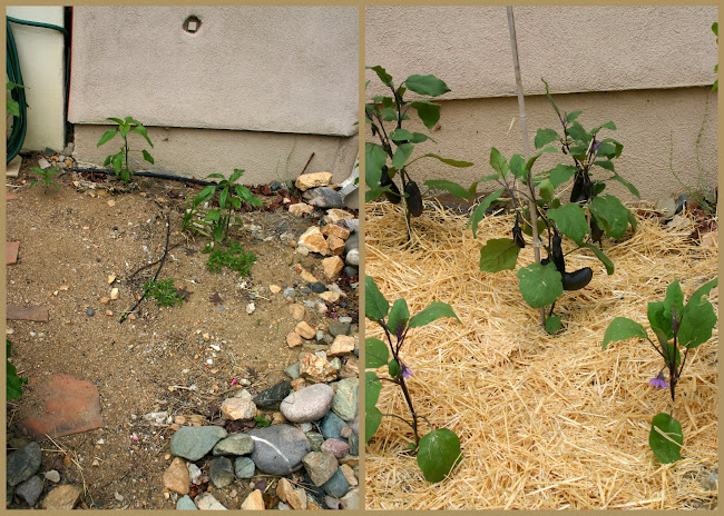 eggplants before and after