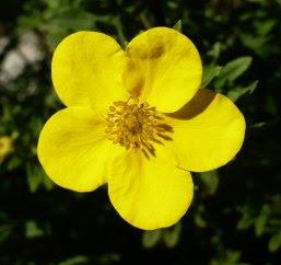 Kwiat pięciornika krzewiastego Flower of Potentilla fruticosa