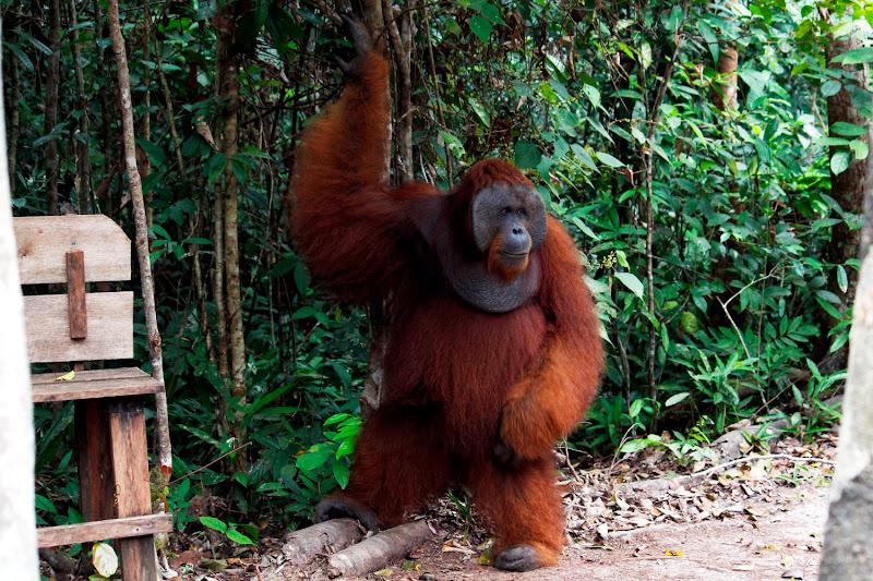 El macho alfa de Pondok Tangui Station de pie