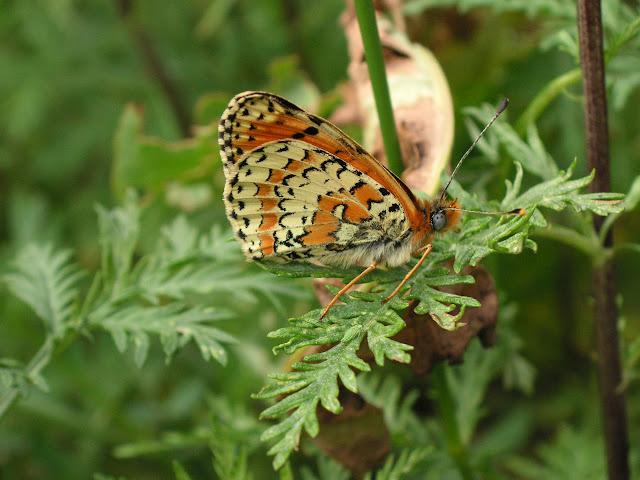 Melitaea ala ala STAUDINGER, 1881 (1900 m). Kekemeren, 30 juin 2006. Photo : J. Michel