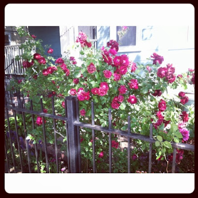 roses in an urban garden