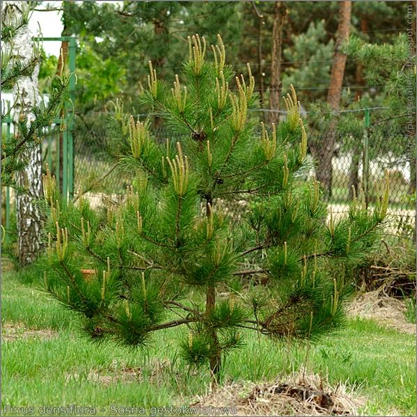 Pinus densiflora - Sosna gęstokwiatowa pokrój młodej rośliny