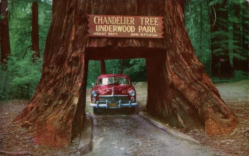 The Drive-Through Trees of California | Amusing Planet