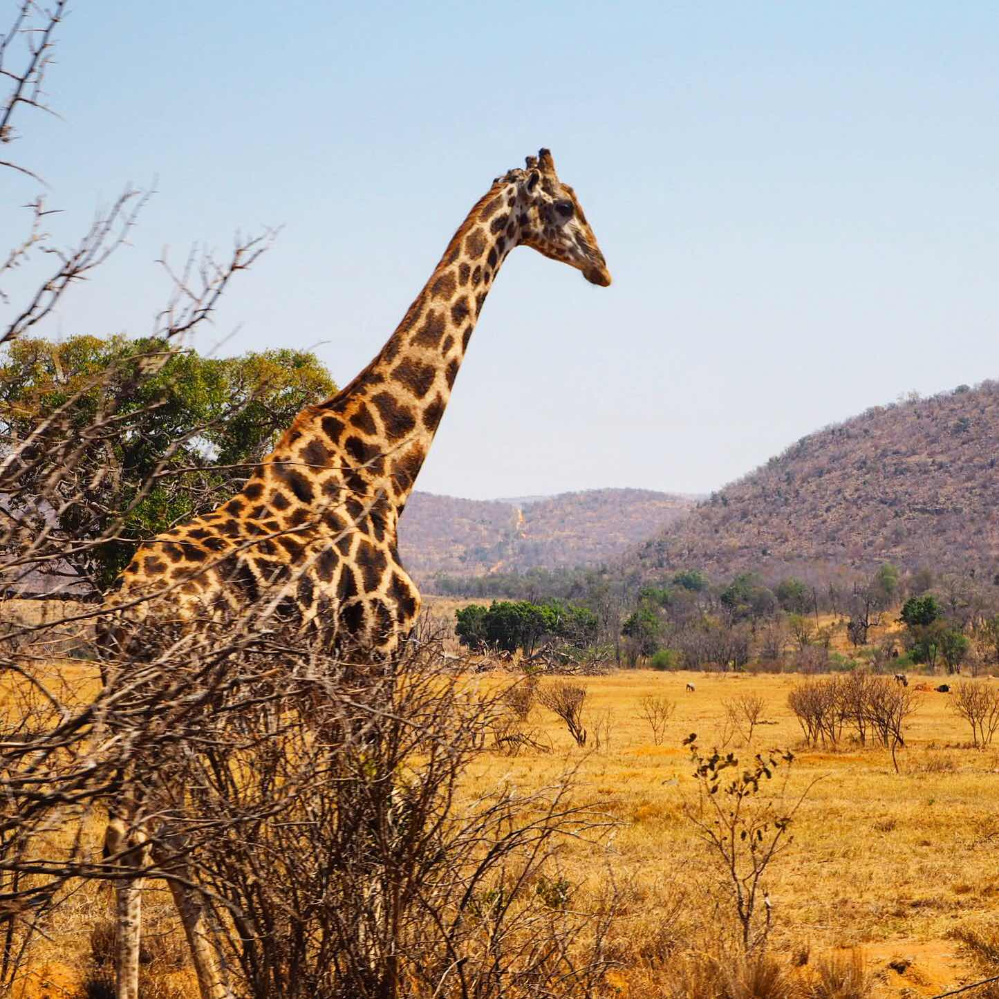 london-lifestyle-travel-blogger-south-africa-safari-giraffe