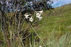 Dem her ligner noget, man giver mange penge for ved en dansk blomsterhandler, her gror de vildt i vejkanten!