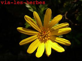 Euryops Chrysanthemoides3.jpg