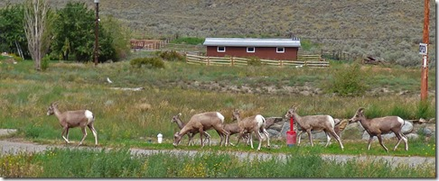 Rocky Mountain Bighorn Sheep near Spences Bridge, Trans-Canada Highway, BC