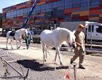 Die Pferde auf dem Weg zur Manege