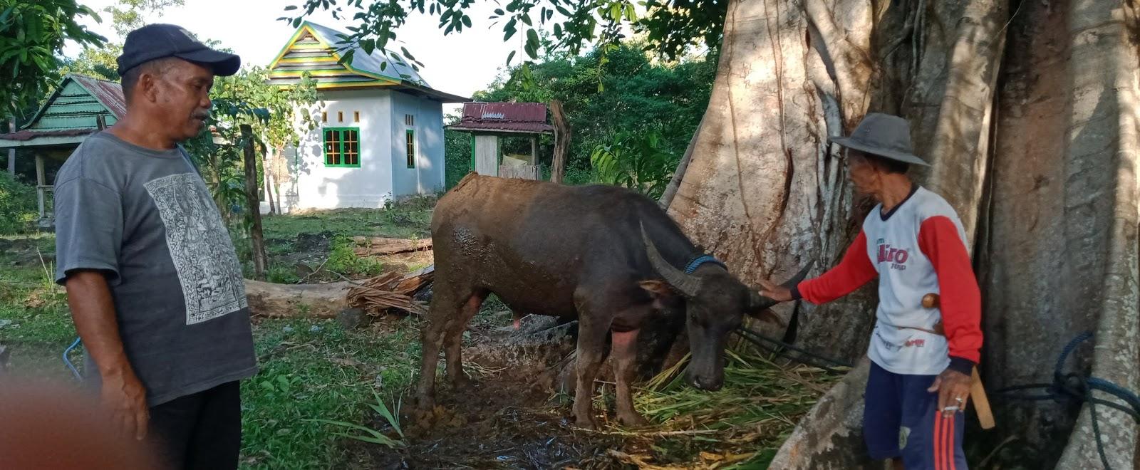 Acara Adat Mattojang dan Potong Kerbau di Dusun Kajuara, akan Dilaksanakan 2 November 2020
