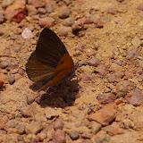 Sevenia amulia CRAMER, 1777, mâle. Piste vers Ebogo, Cameroun, 8 avril 2012. Photo : J.-M. Gayman