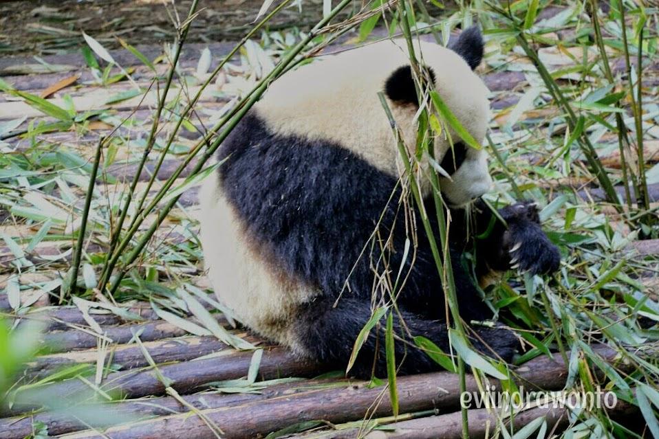 Melihat panda sebagai wisata edukasi