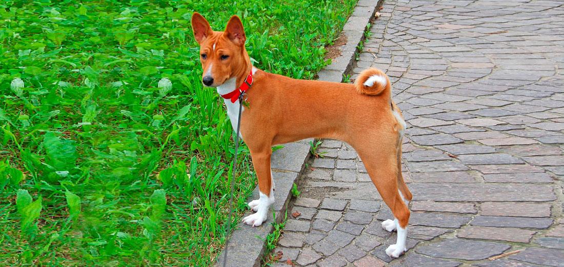 Las razas de perros. El Basenji