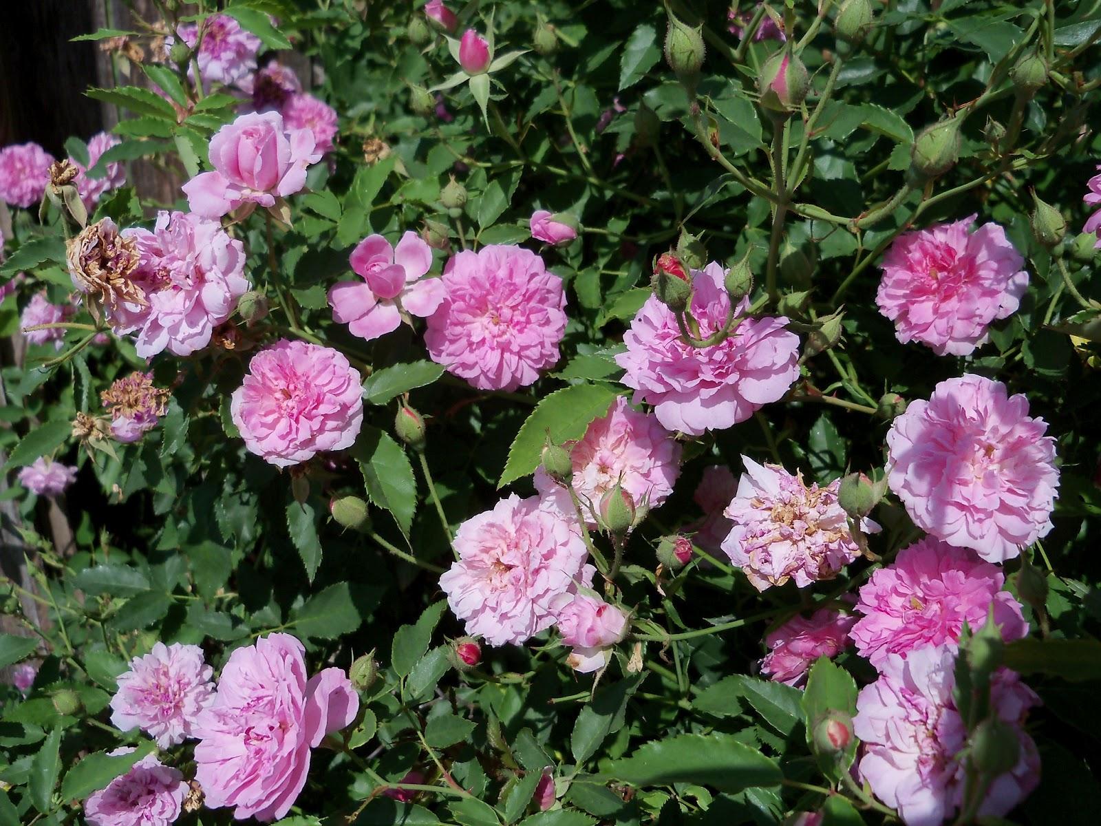 Gardening 2012 - 115_1745.JPG
